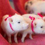 Новые новогодние обои на рабочий стол 2019 со свинками и кабанчиками