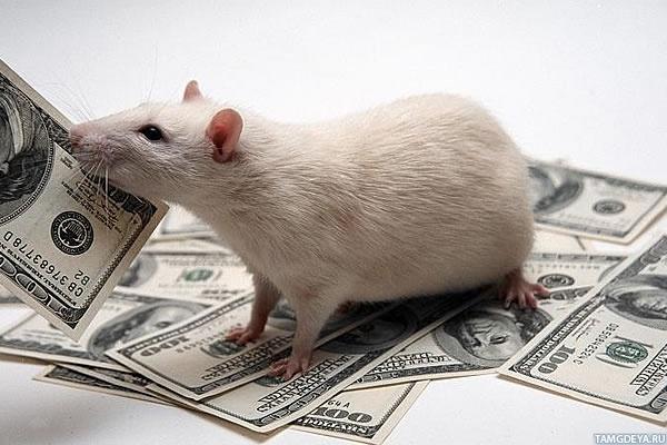 Прикольные картинки с крысами