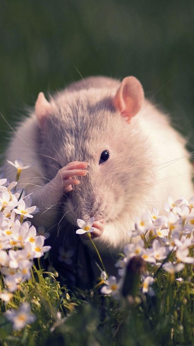 Фото-обои с новогодними крысами и мышками на телефон